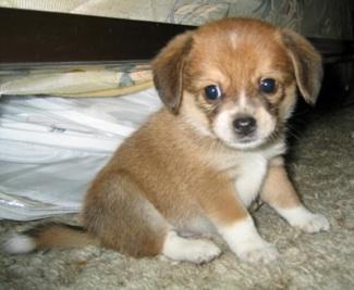 Pomeranian x Beagle