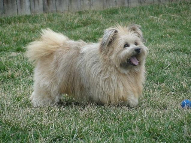 Pomeranian x Cairn Terrier