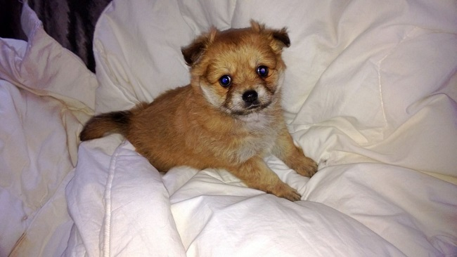 Pomeranian x Chihuahua x Pekingese