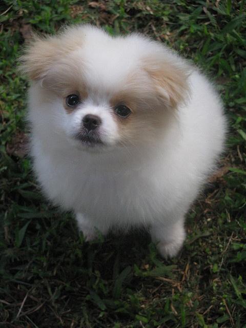 Pomeranian x Japanese Chin
