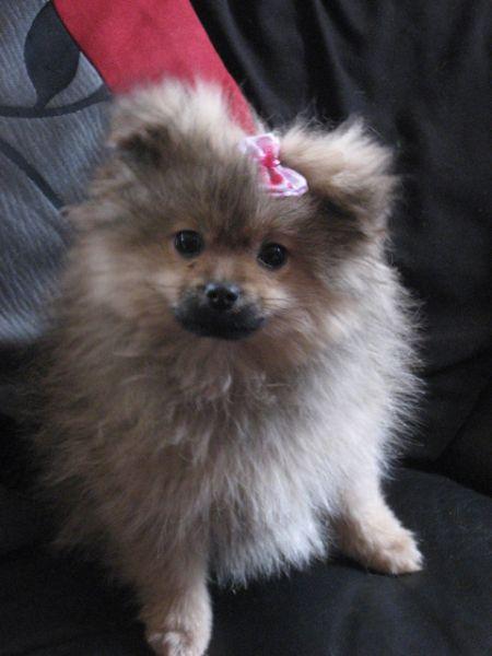 Pomeranian x Pekingese