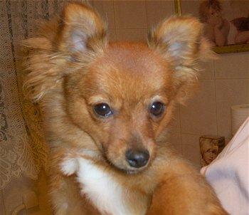 Pomeranian x Silky Terrier