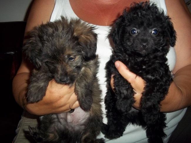 Poodle x Chihuahua x Pomeranian