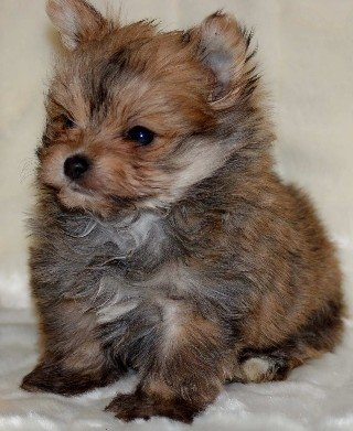 yorkie pomeranian puppies 25 unreal pomeranian cross breeds you have to see to believe 2513
