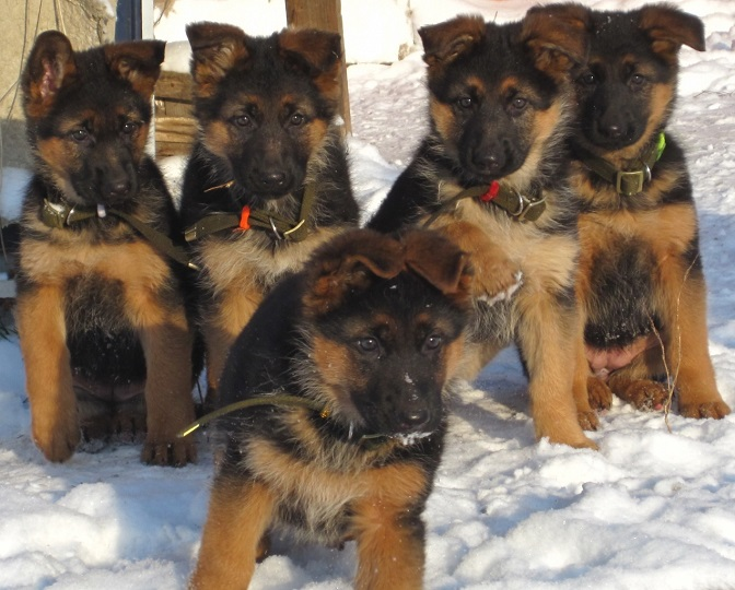 amazing puppies photo german shepherds