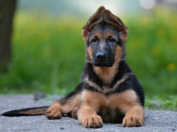 beautiful puppy german shepherd lying