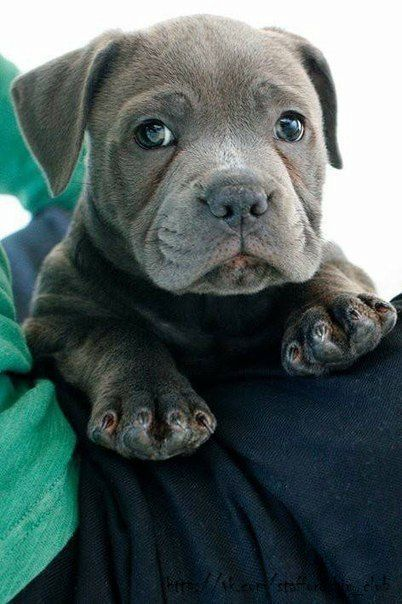 blue English Staffordshire bull terrier