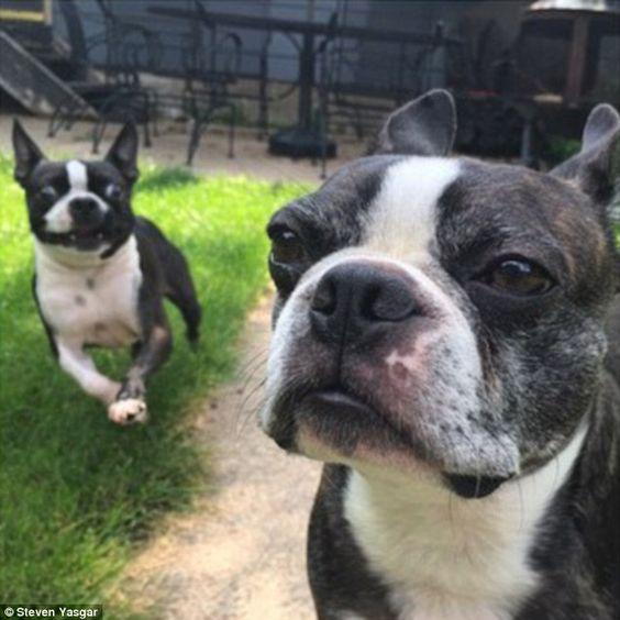 14 Things That Make Boston Terriers Happy
