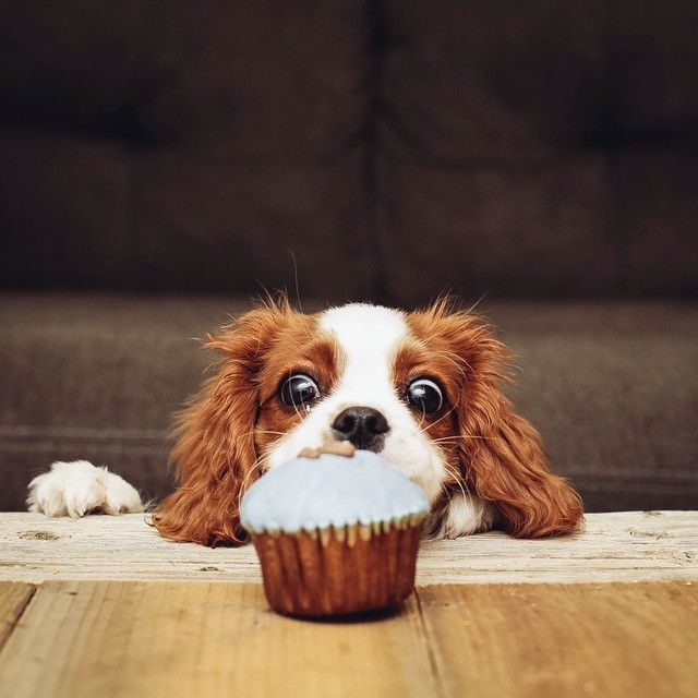 Top Dog Food For Spaniels