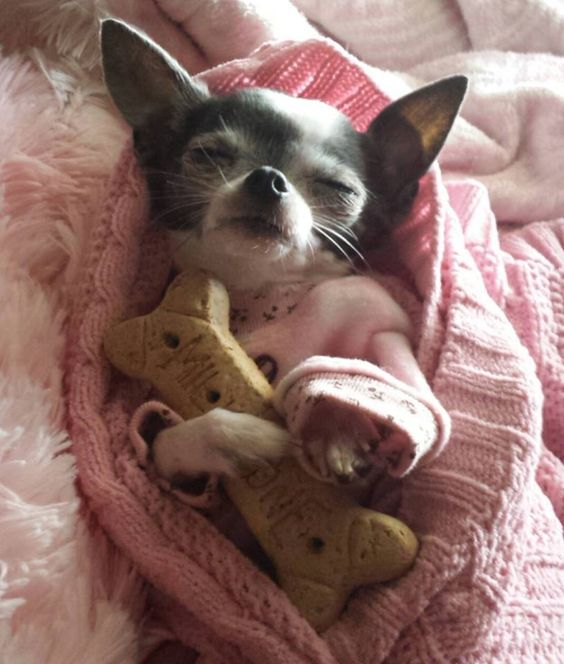 chihuahua sleeping with bone