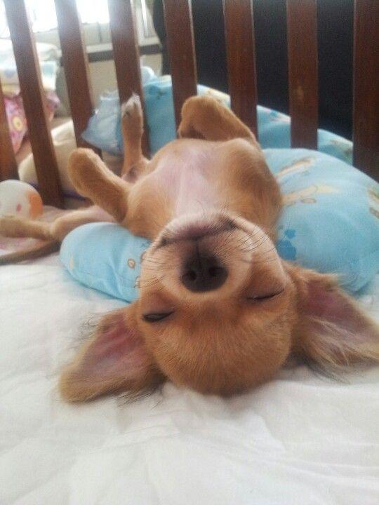 chihuahua sleeping