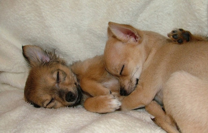 Resultado de imagen para chihuahua sleeping