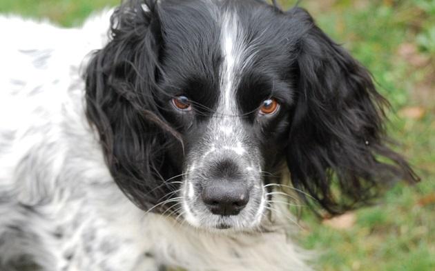 cute face eyes dog springer spaniel