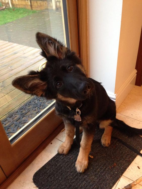 10 Signs You Are A Crazy German Shepherd Person