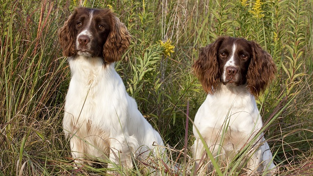 cute two dogs springer spaniels pics