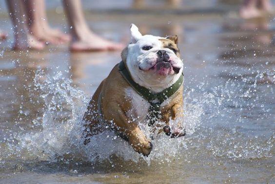 english bulldog beach