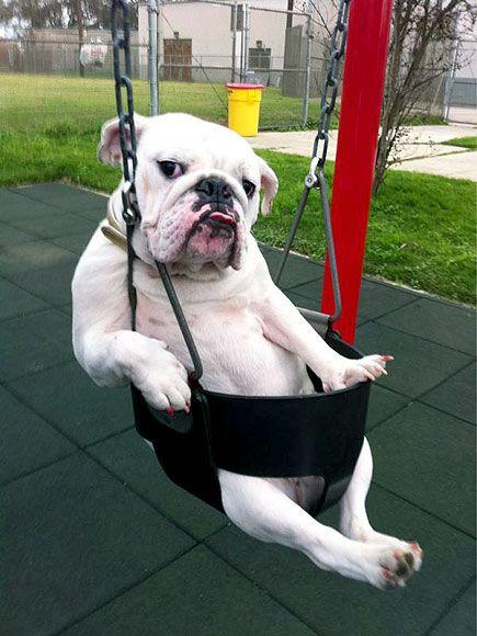 english bulldog swinging