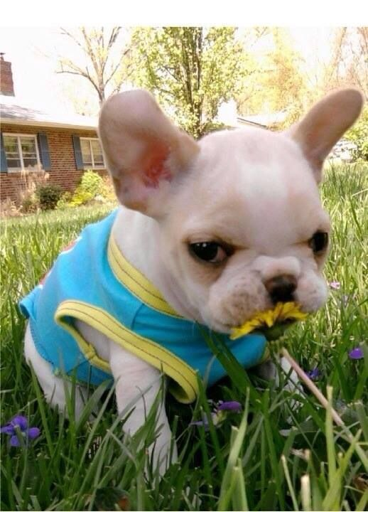 french bulldog spring