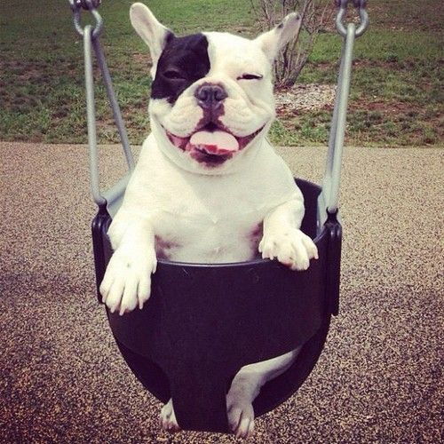 french bulldog swinging