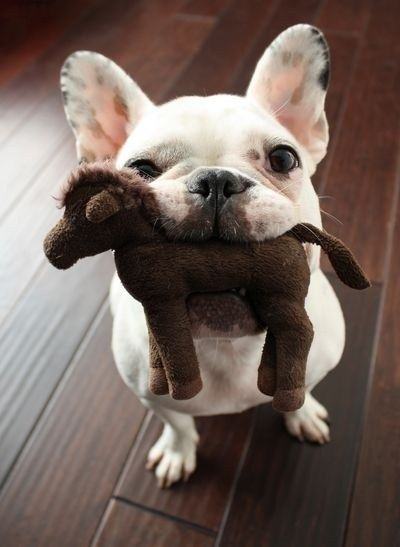 french bulldog with toy