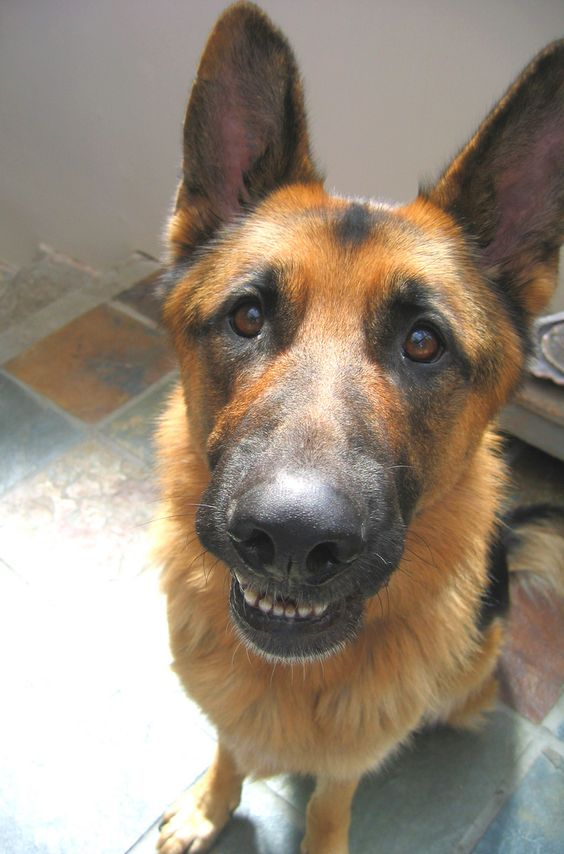 Road Signs Quiz >> 10 Signs You Are A Crazy German Shepherd Person
