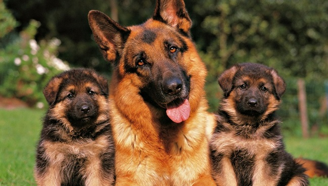 german shepherd family puppies
