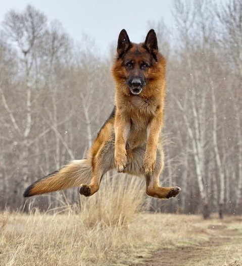 german shepherd jump