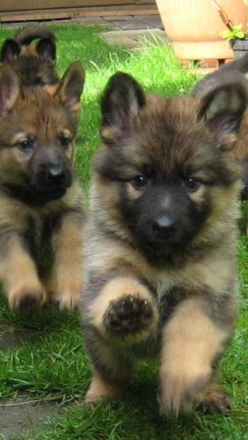 german shepherd puppies running