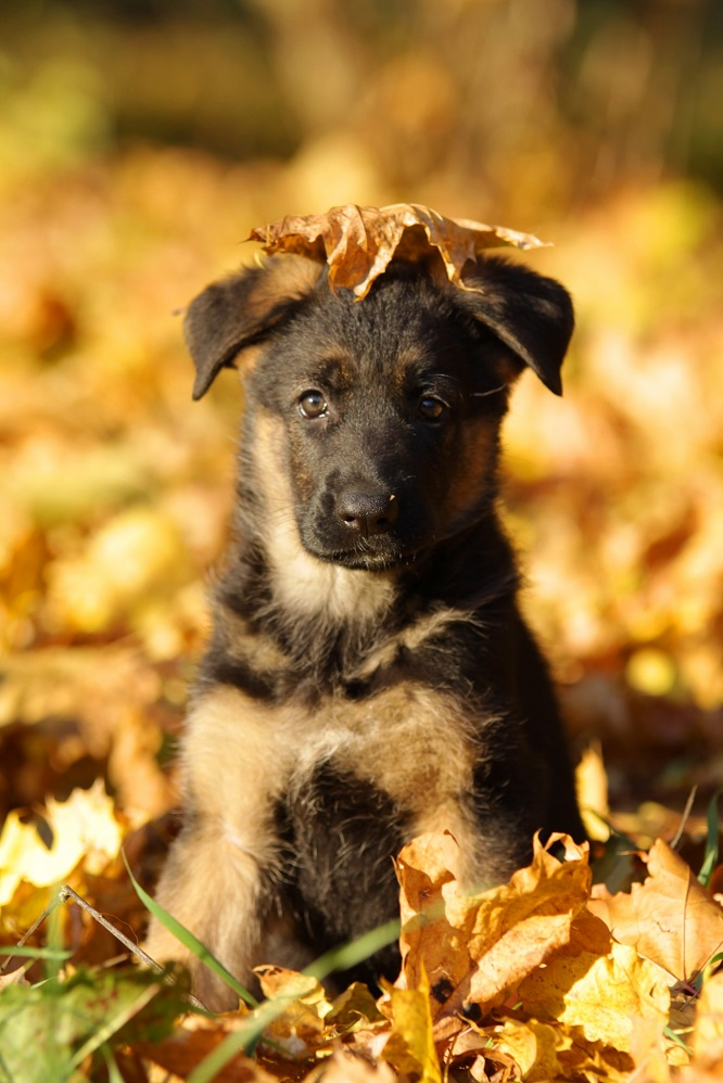 german shepherd puppy autumn fall