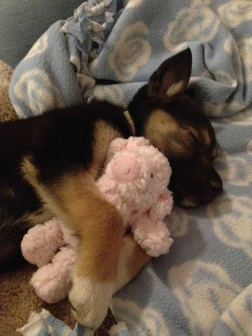 german shepherd puppy cuddling his toy