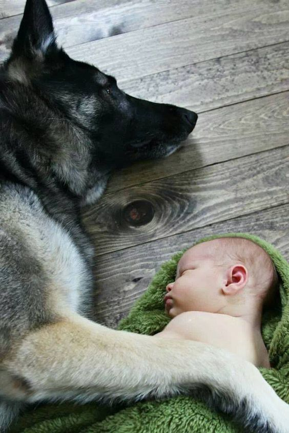 german shepherd rest baby hug