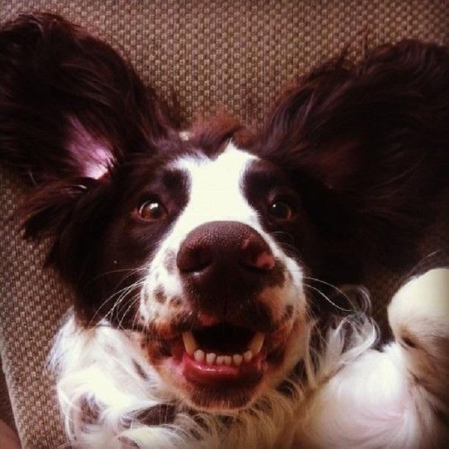 happy face springer spaniel