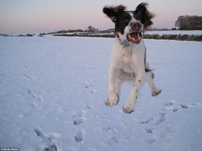 jumping springer spaniel dog snow