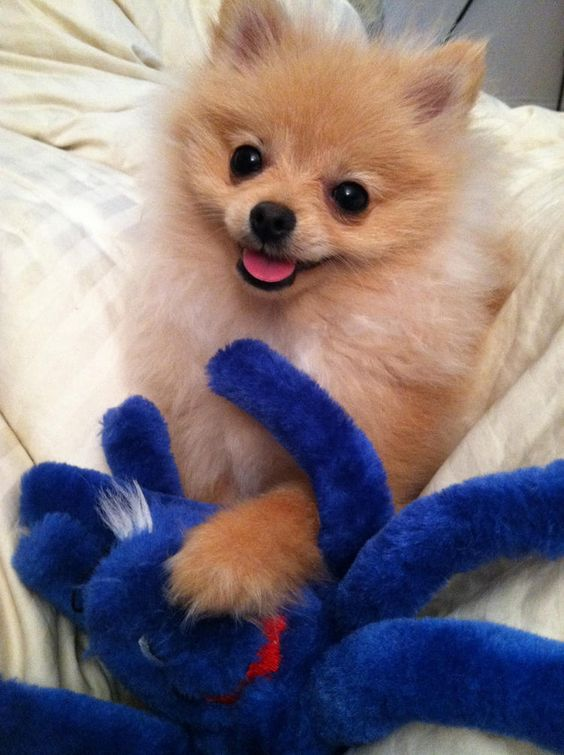 pomeranian and toy