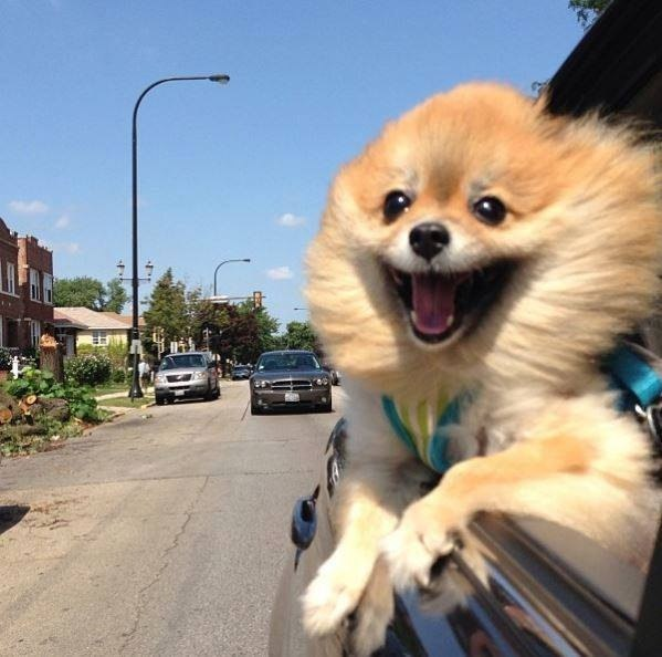 pomeranian in car