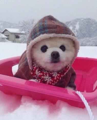 pomeranian winter