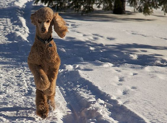 poodle snow winter