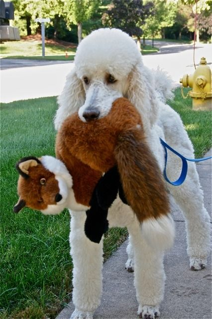 poodle with toy