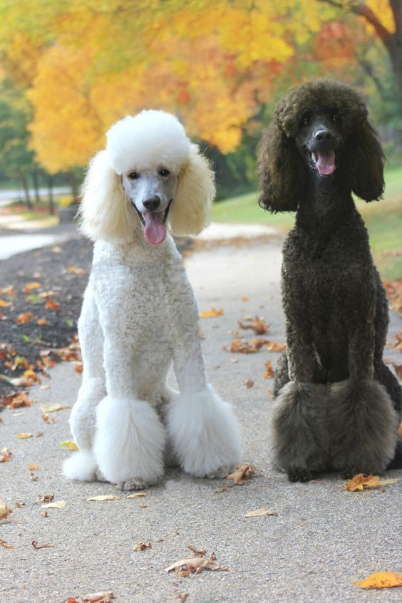 poodles in fall