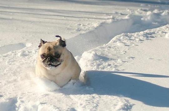 14 Things That Make Pugs Happy