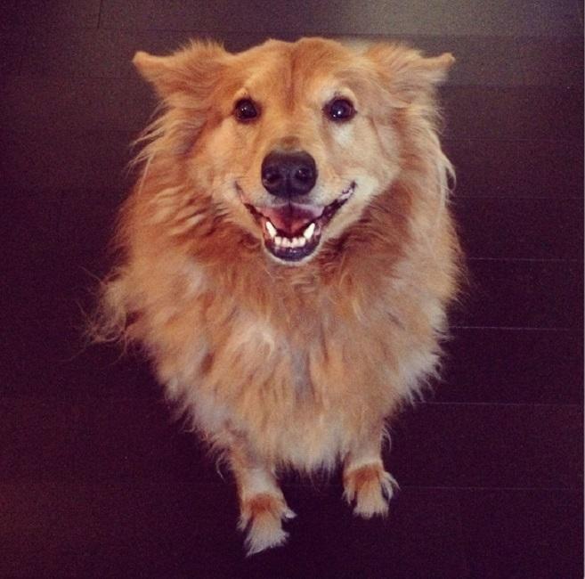 smiling dog collie