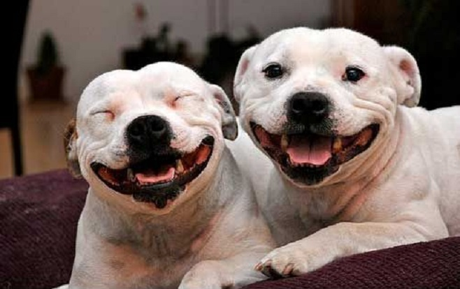 smiling stafford bull terrier dogs