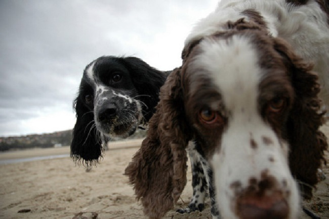 springer spaniels faces photo