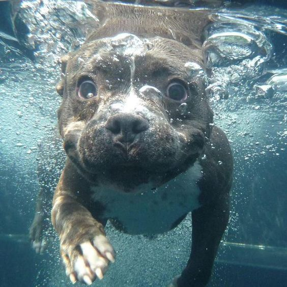 staffordshire bull terrier water diving