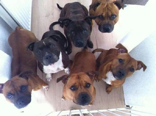 staffordshire bull terriers dogs begging photo