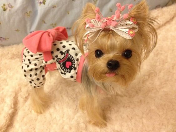 Small in size but big in personality, Here are TOP 10 interesting facts about Yorkshire Terrier. 2