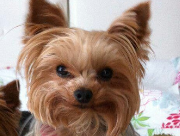 14 Things That Make Yorkies Happy