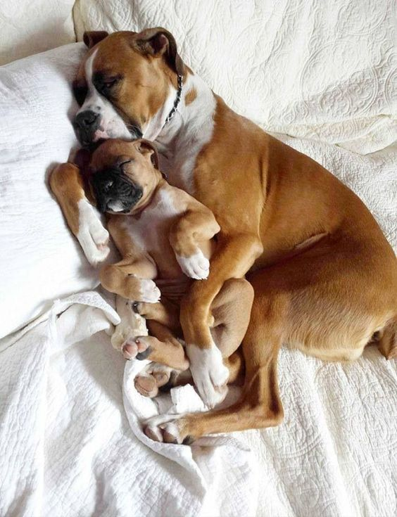 Boxer dogs sleep pics bed puppy