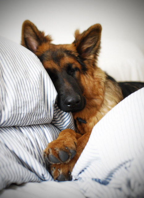 Dog GSD sleep on bed