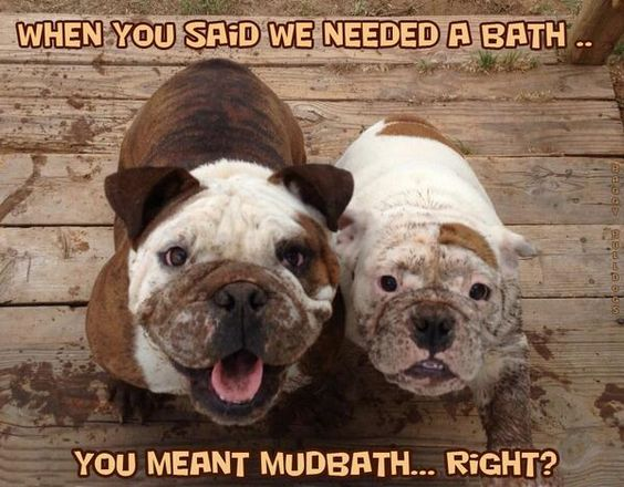 bath english bulldogs meme